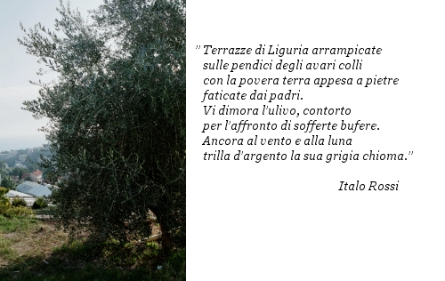 Poesia ulivo